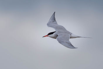 Common tern - Free image #455839
