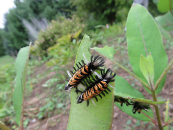 My milkweed is the home to many Monarch caterpillars, yay! - Kostenloses image #455879