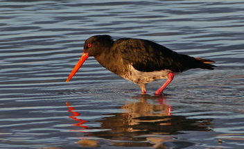 The variable oystercatcher (Haematopus unicolor) - бесплатный image #455979