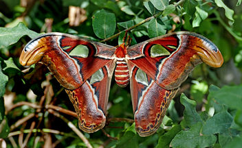 Atlas Moth (Attacus atlas) - image gratuit #456049