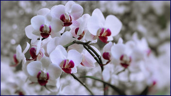 orchids - Free image #456479