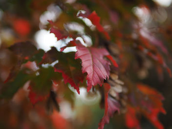 Red leaves - image #456519 gratis