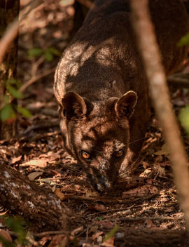 Wild Fossa on the Hunt - Free image #456609