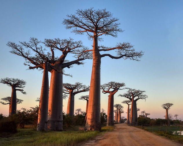 Avenue of Baobabs - image #456639 gratis