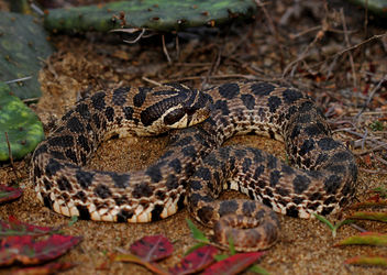 Dusty Hognose Snake (Heterodon gloydi) - бесплатный image #456679