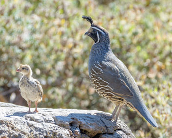 California Quail (m) with chick - Free image #456859