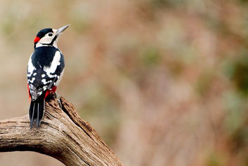 Great Spotted Woodpecker - RSPB Sandy - Free image #456889