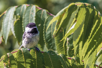 Black-capped Chickadee ~ Huron River Watershed, Michigan - image gratuit #456969