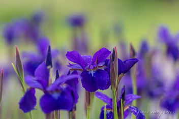 Siberian Iris ~ Huron River and Watershed - image #457009 gratis