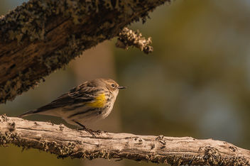 Yellow-rumped Warbler ~ Setophaga coronata ~ Southern Outer Banks, North Carolina - Free image #457019