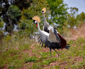 Crested Cranes - Free image #457099