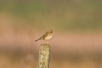 Meadow Pipit - Free image #457309