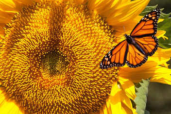 SUNFLOWER AND BUTTERFLY - image gratuit #457419