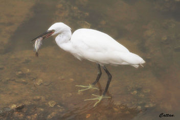 Caught a Fish, Egret - Free image #458029