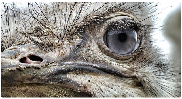 Closeup of a blue eyed ostrich - image #458039 gratis
