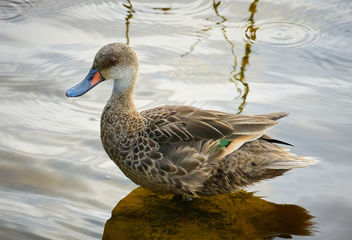 White-cheeked Pintail Duck - Free image #458309