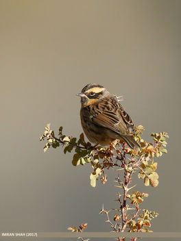 Black-throated Accentor (Prunella atrogularis) - Free image #458409
