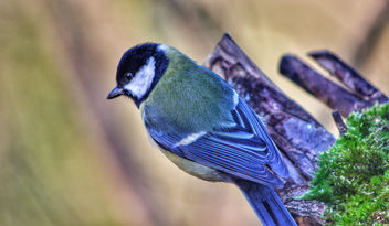 Great Tit at Leighton Moss. - бесплатный image #458549