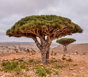 Dragon's Blood Tree - Kostenloses image #458559