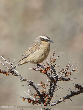 Brown Accentor (Prunella fulvescens) - Free image #458789
