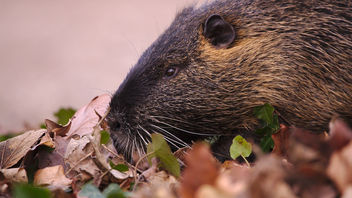The day I met a nutria - бесплатный image #459019