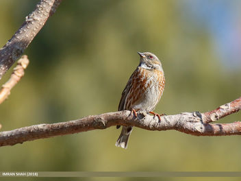 Altai Accentor (Prunella himalayana) - Free image #459089