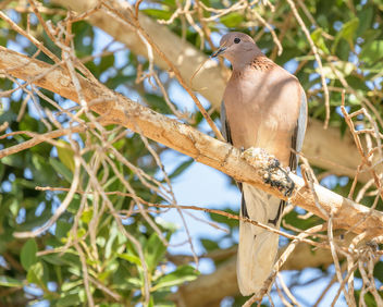 Laughing Dove - image #459139 gratis