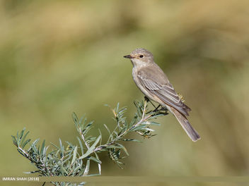 Spotted Flycatcher (Muscicapa striata) - бесплатный image #459289