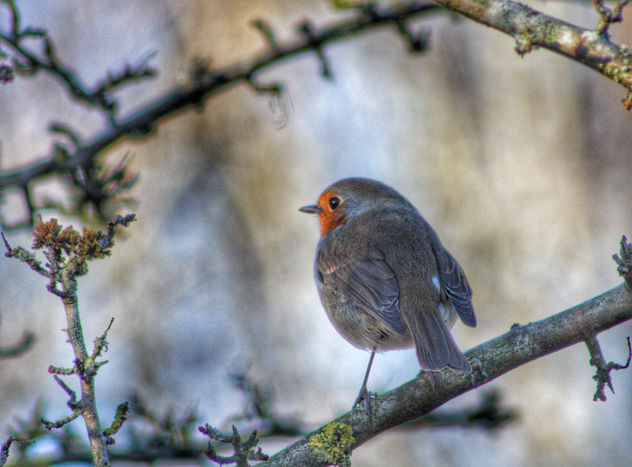 Robin Redbreast - Free image #459619