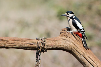 Great Spotted Woodpecker - бесплатный image #460339