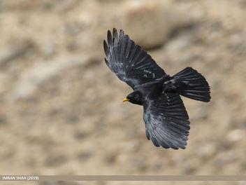 Yellow-billed Chough (Pyrrhocorax graculus) - image #460419 gratis