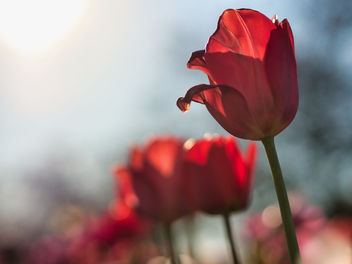 Red tulips - image #460449 gratis