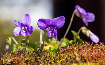 Common Dog-Violet. - image gratuit #460589