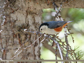 White-cheeked Nuthatch (Sitta leucopsis) - Free image #461189