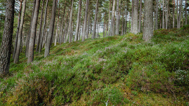 Scottish Pine Forest Floor - image #461239 gratis