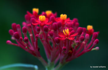 Red Coral by iezalel williams - IMG_9777-004 - Canon EOS 700D - Kostenloses image #461419