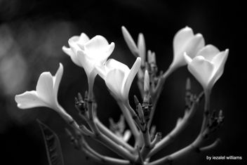 Plumeria flowers - Black and White by iezalel williams - IMG_8812-005 - Canon EOS 700D - image #461429 gratis