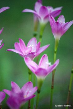 Wild pink flowers by iezalel williams Canon EOS 700D - Free image #461539