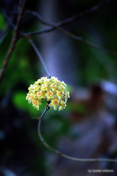 Wild flower of Isle of Pines in New Caledonia by iezalel williams - IMG_2878-005 - Canon EOS 700D - Kostenloses image #461549