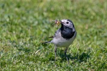White Wagtail - image gratuit #461769