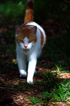 Walking cat by iezalel williams IMG_1652-001 - Canon EOS 700D - Kostenloses image #462009