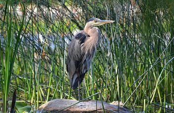 My Very First Great Blue Heron! - Free image #462399