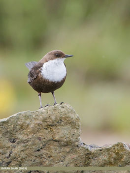 White-throated Dipper (Cinclus cinclus) - Kostenloses image #462939