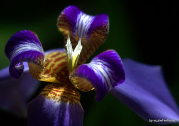 Close-up of an Iris Neomarica by iezalel williams IMG_2346 - Kostenloses image #462949