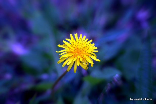 Wild flower in blue tone by iezalel williams IMG_0756 - image #463129 gratis