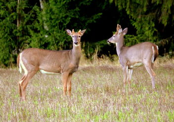 Two white-tailed deers - бесплатный image #463239