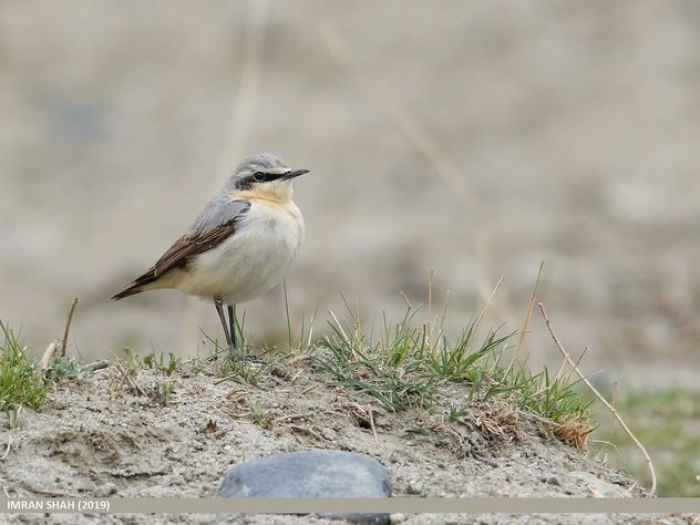 Northern Wheatear (Oenanthe oenanthe) - Free image #463869