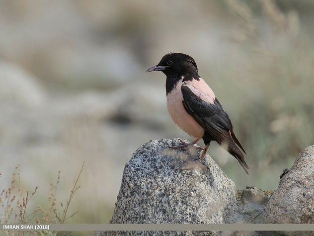 Rosy Starling (Pastor roseus) - Free image #463899