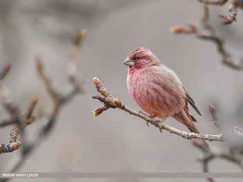 Red-Mantled Rosefinch (Carpodacus rhodochlamys) - Free image #463919