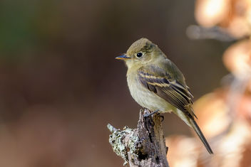 Pacific-slope Flycatcher - Free image #464179